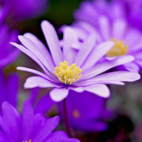 grecian windflowers growing tips anemone blanda pink bulbs pink grecian windflowers easy to grow bulbs