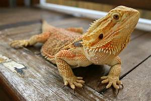 Bearded Dragons | Dragon Rancher