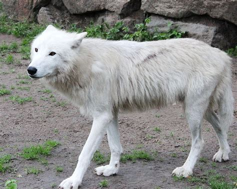 Filearctic Wolf Berlin Jpg Wikimedia Commons