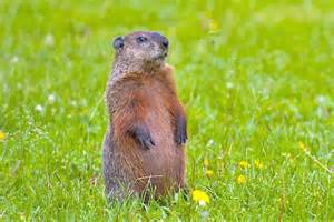 Gopher and Groundhog Difference