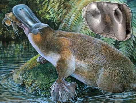 scientists discover ancient giant duck billed platypus