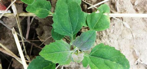 unkraut garten bilder zwei in einer pflanze melde als gemüse und unkraut