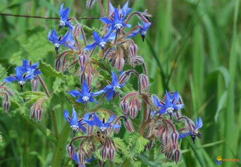 bourrache cuisine photo bourrache borago officinalis 1