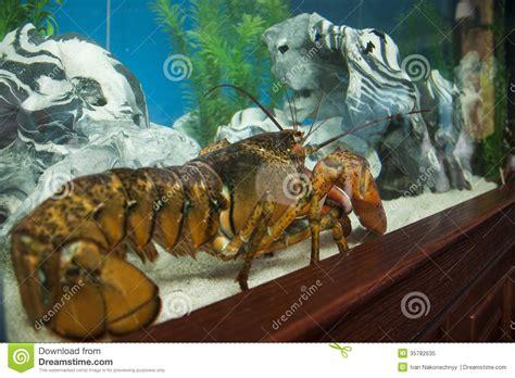 cuisiner le homard vivant homard vivant photo libre de droits image 35782635