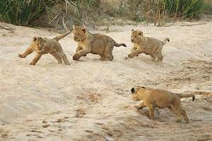Baby Lion Cubs Playing | ~Lion's, Tiger's, & Etc.~ | Pinterest