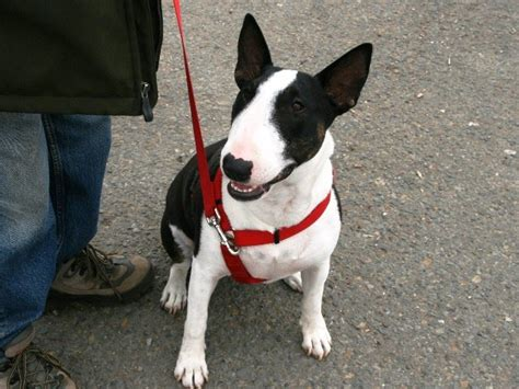 Bull Terrier Save A Rescue