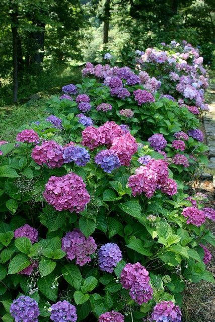 hydrangea border garden great flower border idea hydrangea garden garden border ideas pinterest gardens flower