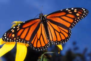 Image result for images of monarch butterflies