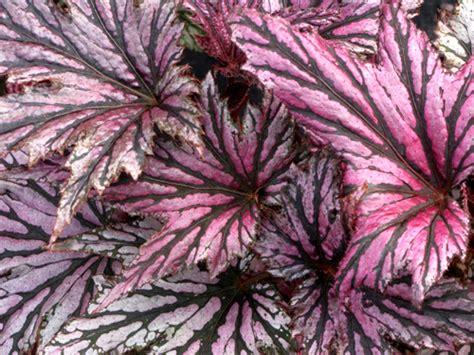 Garden Blush Begonia by Perennial Solutions Begonia Garden Blush