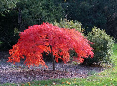 maple tree japanese iridescent japanese miniature maple flickr photo sharing