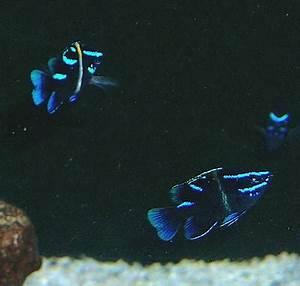 Neon damsel Exotics Fish