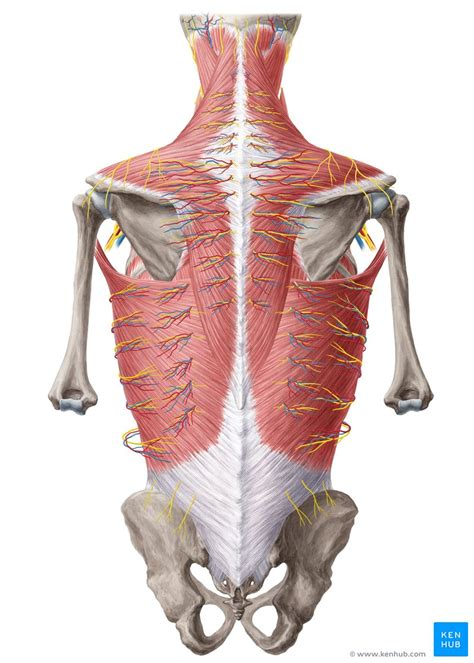 The muscles of the lower back help stabilize rotate flex and extend the spinal column which is a bony tower of 24 vertebrae that gives the. Anatomy of the back: Spine and back muscles | Kenhub