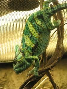 Rainforest Animals Chameleons