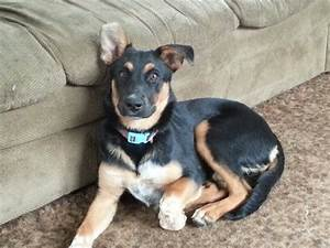 Daisy! Blue Heeler, German Shepard, Rottweiler mix | CUTE ...
