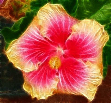 gambar bunga kembang sepatu berwarna