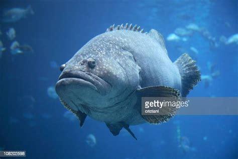 grouper fish fat aquarium portrait