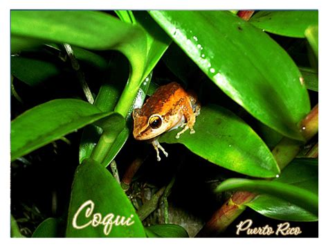 Coquis: A Puerto Rican Cultural Icon   Puerto Rico & Caribbean Travel News