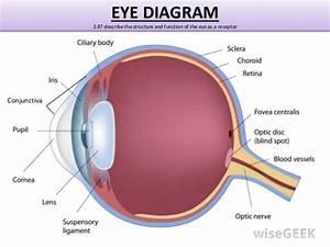 Anatomy Eye Diagram Fovea Disk
