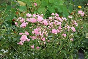 Hortensien Vermehren Wasserglas : rosenpflege im jahresverlauf rosen richtig pflanzen und ~ Lizthompson.info Haus und Dekorationen