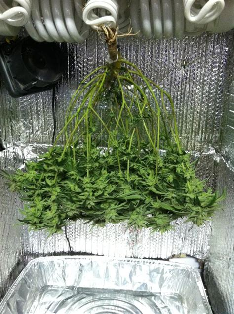 cfl dresser microgrow  pictures clone  harvest oz grow weed easy