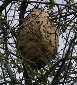 Essaim De Frelon : un essaim d 39 abeilles est arriv dans votre jardin et vous ~ Melissatoandfro.com Idées de Décoration