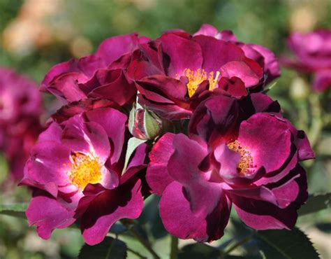 stormy weather rose purple rose blue climber rose