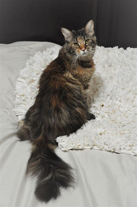 europa  eurocoons black classic tortie female maine coot
