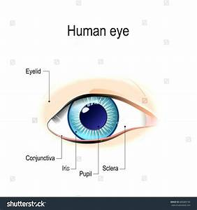Diagram  Parts Of The Eyelid Diagram