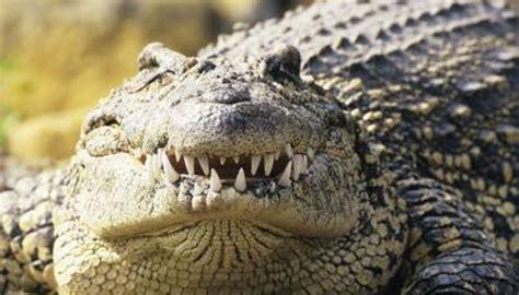 florida crocodiles   food animals