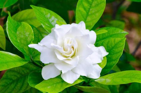 Gardenia Picture by Learn How To Grow And Care For Your Gardenia