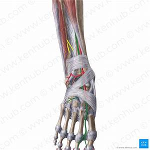 Ankle Joint  Anatomy  Bones  Ligaments And Movements