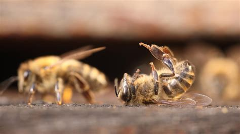 les abeilles en voie dextinction aux etats unis