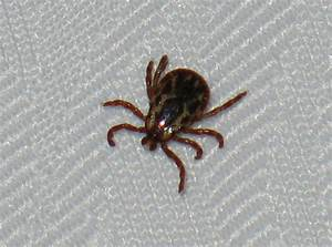 what does a tick look like on a dog