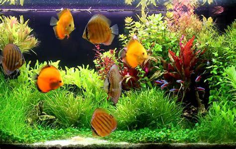 ikan hias aquascape air tawar