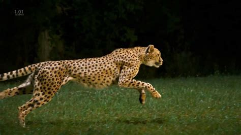 Cheetah Full Speed, Slow Motion, Hd Camera
