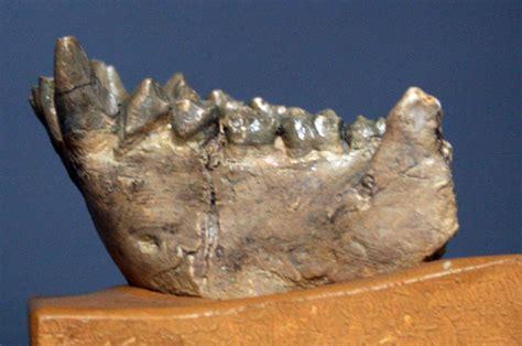 dryopithecini wikipedia