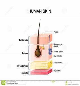 Layers Of Normal Human Skin Stock Vector