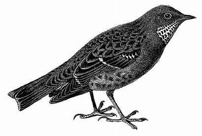 Illustration Bird Digital Sparrow Drawing Clipart Parakeet