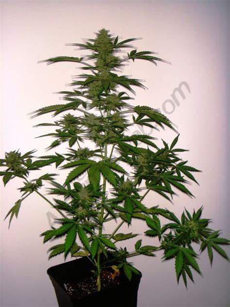 fin de floraison cannabis interieur culture de cannabis 224 floraison automatique du growshop alchimia