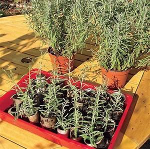 Magnolien Vermehren Durch Stecklinge : lavendel durch stecklinge vermehren garten pinterest ~ Lizthompson.info Haus und Dekorationen