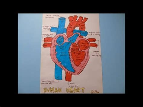 draw human heart anatomy easy step  step