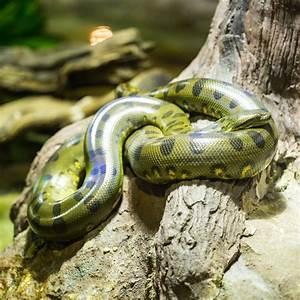 Green Anaconda Habitat, Diet & Reproduction - Sydney