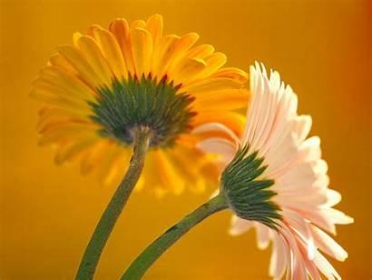 Fleurs Yellow Flower Orange Flowers Desktop Juju58