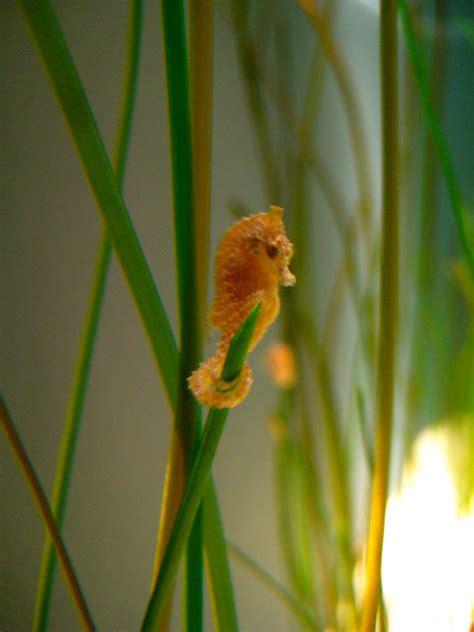 Cute Baby Seahorses