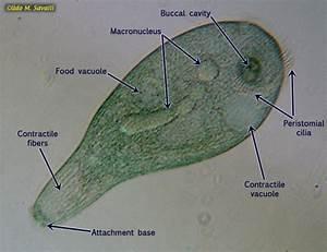 BIO385-Protozoa