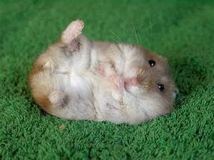 Cutest Hamster in the World - YouTube