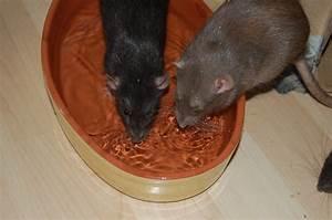 Wie Vertreibt Man Ratten : ratten im sommer wie kann man ihnen helfen ~ Eleganceandgraceweddings.com Haus und Dekorationen