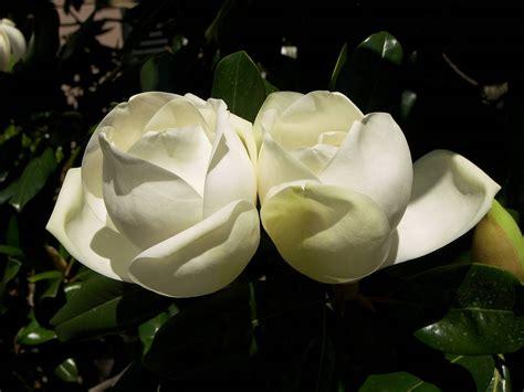 magnolia tree white flowers magnolia bud white blossoms flowers magnolia