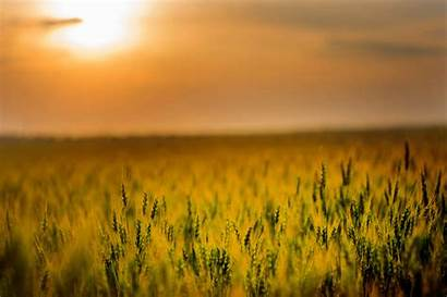 4k Sunset Yellow Field During Wallpapers Nature