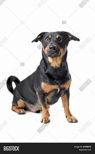 Black Tan Jack Russel Terrier Dog Image & Photo | Bigstock